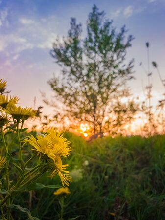 Close up of yellow wildflowers blooming on a meadow over sunset sky background. Golden Crownbeard or Verbesina encelioides flowering. Stockfoto