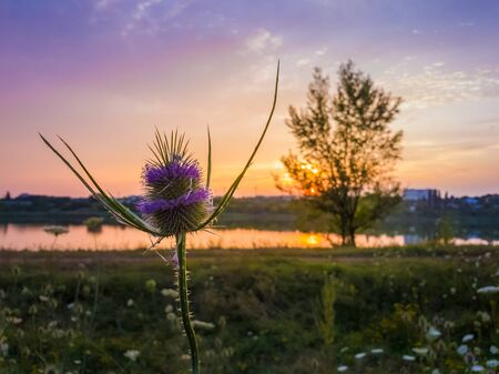 Wild teasel (Dipsacus fullonum) flowering on a summer meadow over sunset sky background. Purple seeds bloom on thorn flowerhead. Steppe thistle, Fullers Teasel was widely used in textile processing. Stockfoto