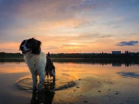 Happy dog refreshing as walking in the pond water over sunset background with reflection on the lake surface. Pet enjoying the silence of the sundown, looking attentive aside.