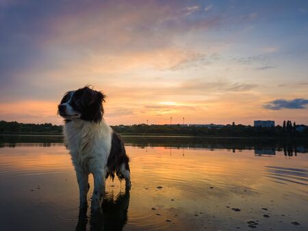Portrait of serious and attentive border collie dog standing in a pond water over sunset background with reflection on the lake surface. Beautiful pet looking around posing to camera.
