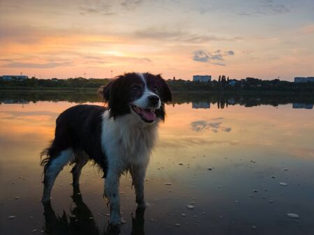 Cute dog looking aside attentive, happy emotion open mouth, standing in the lake water over the sunset clouds reflection. Idyllic countryside background, adorable pet and magic evening silence.