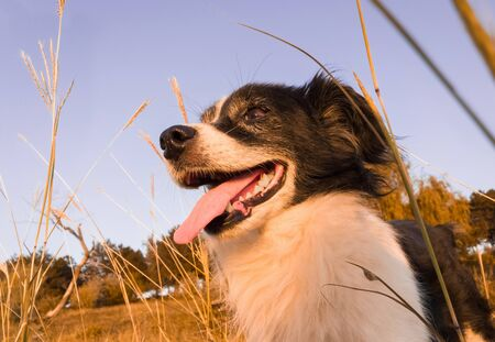 Closeup portrait of joyful old dog standing on the dry grass field surrounded by yellow hay and forest on the background. Seasonal autumn colors, calm sundown light and clear blue sky.