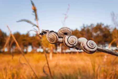 Lots of snail shells on a dry plant in the field near the forest. Countryside autumn scene, yellow hay meadow and many vineyard snails (Cernuella virgata).