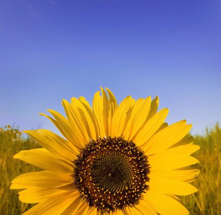 Close up of sunflower plant growing in the field over clear blue sky background in a sunny autumn day. Organic and natural yellow flower petals texture.