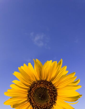 Close up of sunflower plant growing in the field over clear blue sky background in a sunny autumn day. Organic and natural yellow flower petals texture. Copy space for text.