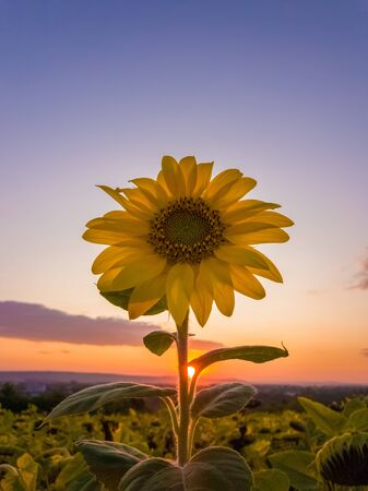 Close up of lone yellow blooming sunflower among the crop field of dry flowers over a sunset sky background. Autumn scene, harvest and farming concept.