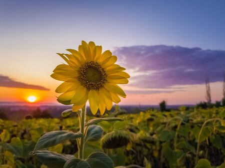 Sunflower harvest field over sunset sky background. Single late flowering plant among the crop of sunflower in a golden autumn evening at farm. Stockfoto