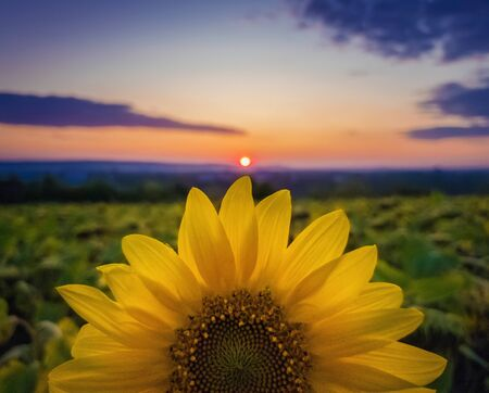 Vibrant autumn sunset as sun circle touching a rich sunflower petals crown. Beautiful fall scene, crop and harvest concept. Farm field idyllic view.