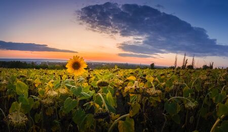 Panoramic scene of sunflower harvest field over sunset sky background. Single late, yellow flowering plant among the crop of sunflower.
