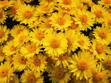 Top view close up of yellow chrysanthemums bouquet composition. Texture pattern of blooming michaelmas daisies flowers, fresh nature cute background.