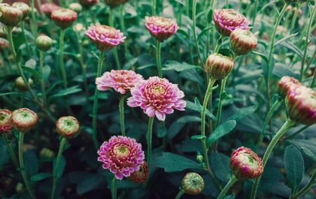 Close up of flowered pink chrysanthemums with buds. Blooming autumn flowers nature background. Soft vertical shot with blossoming purple Michaelmas daisies. 版權商用圖片 - 131363688