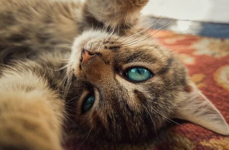 Close up self portrait of funny little kitten, beautiful blue eyes, playing with camera, paws outstretched. Adorable striped cat laying down on carpet making a cute selfie. 스톡 콘텐츠 - 132103863