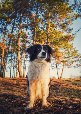 Vertical portrait of a lovely border collie dog in the nature, posing serious expression over the pine forest background. Beautiful scene with soft, orange sunset beams slipping through the trees.