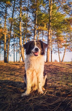 Vertical portrait of a smiling border collie dog, posing happy, open mouth expression, over the pine forest background. Beautiful scene with soft, orange sunset beams slipping through the trees.