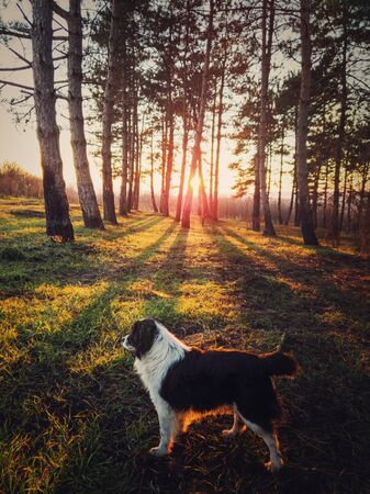 Vertical portrait of a dog walking in the forest. Beautiful sunset scene with the sun beams slipping through the pine trees. Peaceful evening with an adorable pet in the woods.
