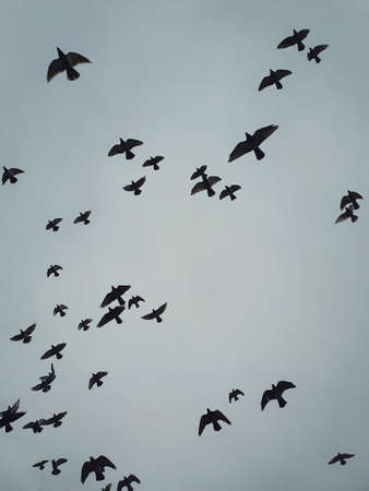 Flock of migratory birds flying over head against the cloudy autumn sky background. Birds silhouettes, nature wildlife. Fall season scene