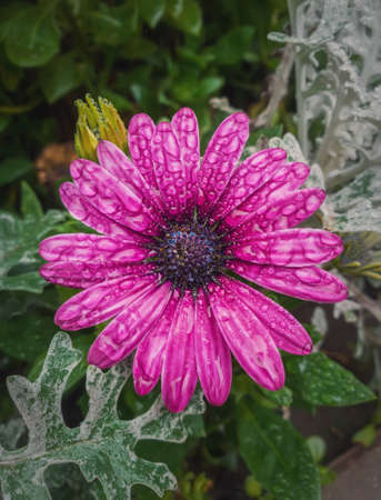 Close up of blooming purple aster with dew drops on the petals. Beautiful autumn flower wet after rain. Natural magenta color blossom in the garden, green leaves background.