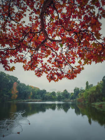 Red maple tree leaves on the branches over the calm lake water. Moody autumn season natural background. Colorful foliage in the park in a cloudy fall day. Wild ducks on the pond.