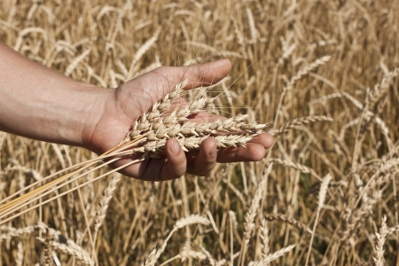 Wheat in the hands of men