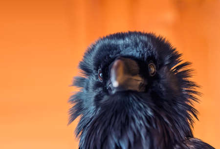 corax: Funny black raven on the orange background Stock Photo