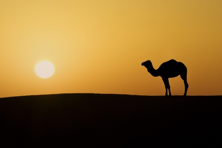 Silhouette of a camel in the desert of Sahara at sunset Stock Photo - 12751492