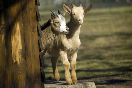 farm home: Goat kids on the farm standing side by side in front of the green field background  Stock Photo