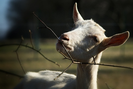 Goat on the farm eating a branch