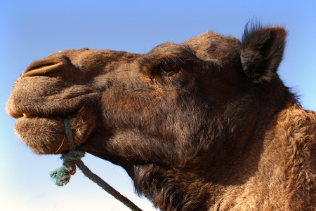 Old camel head, blue sky in background Stock Photo