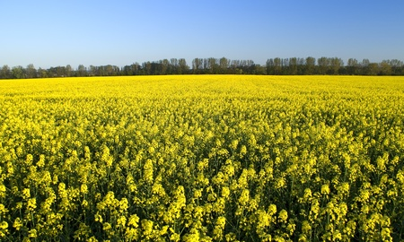 Rapeseed field in springtime photo