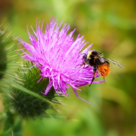 bumblebee on a wild flower photo