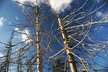 Dead trees demaged by pollution under the sun with blue sky