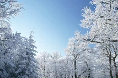 Sunny day in forest with trees covered by snow photo