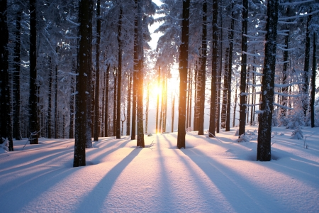 the trees covered with snow: Sunset in the wood in winter period Stock Photo