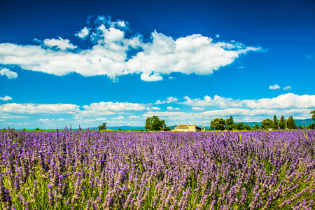 Lavender flowers in a soft focus with pastel colors in Provence, France