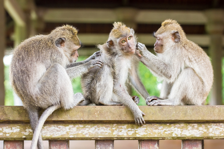 Relaxed monkey is sleeping and get massage by another monkey in Ubud, Bali, Indonesia Stock Photo