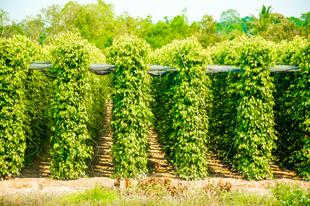 Pepper Garden Farm, Phu Quoc Island in Vietnam Фото со стока