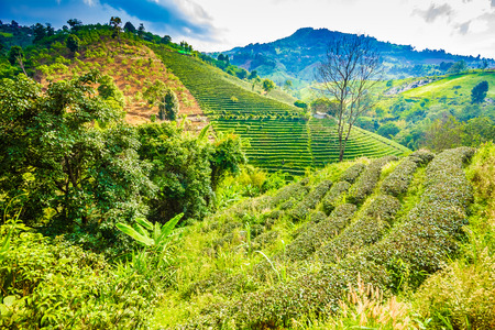 Beautiful fresh green oolong tea field plantation, Mae Salong near Chiang Rai, North of Thailand in Asia