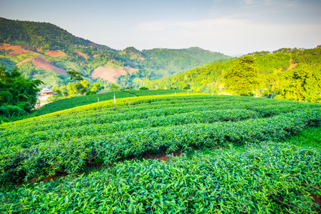 Beautiful fresh green oolong tea field plantation, Mae Salong near Chiang Rai, North of Thailand in Asia