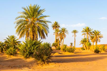 Palm trees in Erg Chebbi, Sahara Desert in Merzouga, Morocco in Africa