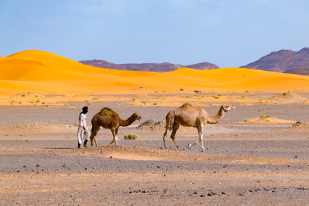 Berber man leading camel caravan, Merzouga, Sahara Desert, Morocco in Africa