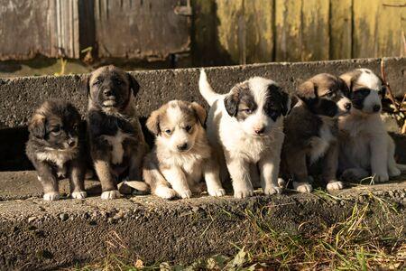 Cute Australian shepherd puppies in countryside in Romania