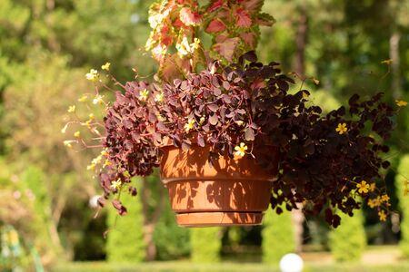 Plant Oxalis with little purple flowers in a pot. Reklamní fotografie