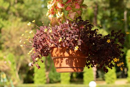 Plant Oxalis with little purple flowers in a pot. 版權商用圖片