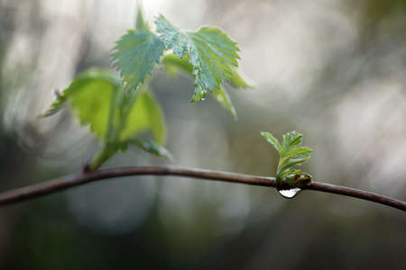 April morning in the forest, fresh leaves and raindrops, close-up and bokeh, fuzzy background and copy space