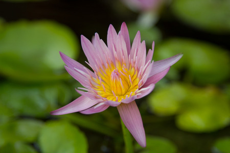 A Lotus on green nature background.