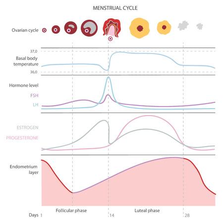 El ciclo menstrual, que muestra los cambios hormonas, temperatura corporal basal endometrial. Infografía. Vector