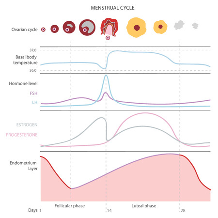 Il ciclo mestruale, che illustrano l'evoluzione degli ormoni, la temperatura corporea basale dell'endometrio. Infografica. Vettore
