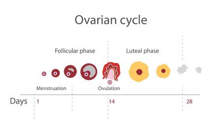 hormonas: El ciclo menstrual, que muestra los cambios hormonas, temperatura corporal basal endometrial. Infograf�a. Vector Vectores