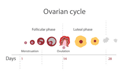 endometrial: The menstrual cycle, showing changes hormones, endometrial basal body temperature. Infographics. Vector Illustration