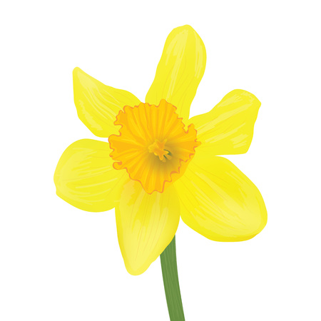 yellow daffodil isolated on a white background. Vector realistic flowers.